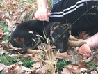 German Shepherd Dog Puppy For Sale in MACON, MO, USA
