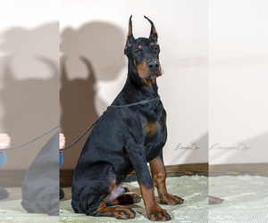 Doberman Pinscher Dog for Adoption in Moscow, Moscow Russia