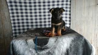 German Shepherd Dog Puppy For Sale in GRABILL, IN