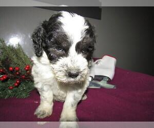 Poodle (Toy)-Saint Bernard Mix Puppy for sale in JERSEY CITY, NJ, USA