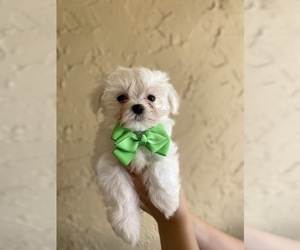 Maltese Puppy for sale in CORAL SPRINGS, FL, USA