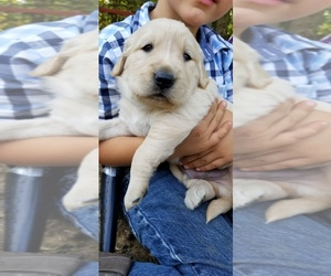 Golden Retriever Puppy for Sale in LEESBURG, Virginia USA