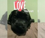 Small Photo #4 Labradoodle-Labrador Retriever Mix Puppy For Sale in MYRTLE BEACH, SC, USA