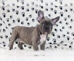 Small Photo #1 French Bulldog Puppy For Sale in RIVERSIDE, CT, USA