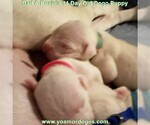 Small Photo #35 Dogo Argentino Puppy For Sale in PINEVILLE, MO, USA