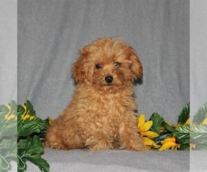 Poodle (Toy) Puppy for sale in HOLTWOOD, PA, USA