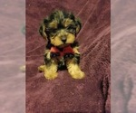 Image preview for Ad Listing. Nickname: Yorkie Puppy