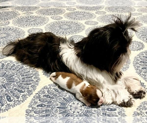 Medium Photo #5 Shih Tzu Puppy For Sale in SUGAR HILL, GA, USA