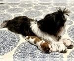 Small Photo #5 Shih Tzu Puppy For Sale in SUGAR HILL, GA, USA