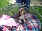 Beagle Puppy For Sale in FRESNO, California,