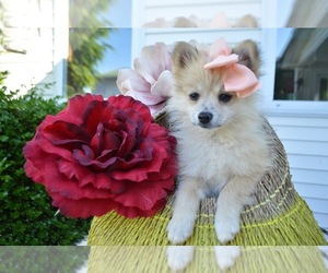 Pomeranian Dog for Adoption in HONEY BROOK, Pennsylvania USA