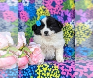 Pomimo Puppy for sale in CHRISTIANA, PA, USA
