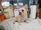 French Bulldog Puppy For Sale in LEAGUE CITY, TX, USA