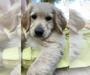 Goldendoodle Puppy for sale in FAYETTEVILLE, TN, USA