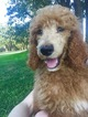 Poodle (Standard) Puppy For Sale in FORT WORTH, TX,