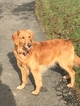 Golden Retriever Puppy For Sale in QUARRYVILLE, PA