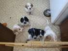 English Setter Puppy For Sale in HASTINGS, MN, USA