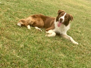 Border Collie Dog For Adoption in BOWIE, TX, USA