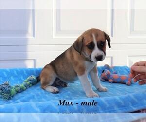 American Bulldog-Australian Shepherd Mix Puppy for sale in CLARKRANGE, TN, USA