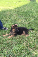 German Shepherd Dog Puppy For Sale in HOUSTON, TX