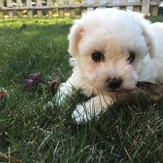 Bichon Frise Puppy for sale in NORTH BEND, WA, USA