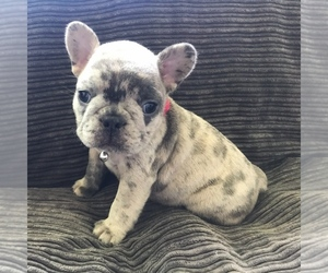 French Bulldog Puppy for sale in GARLAND, UT, USA