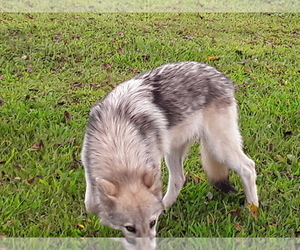Wolf Hybrid Puppies for Sale in Missouri, USA, Page 1 (10