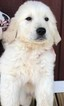 Golden Retriever Puppy For Sale in BELLVILLE, OH, USA