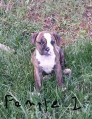 Olde English Bulldogge Puppy For Sale in CLAYTON, IL