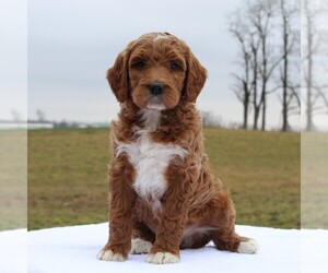Irish Doodle Puppy for sale in GREENCASTLE, PA, USA