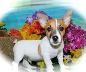 Jack Russell Terrier Puppy for Sale in HAMMOND, Indiana USA