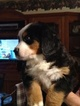 Bernese Mountain Dog Puppy For Sale in AUGUSTA, WV, USA