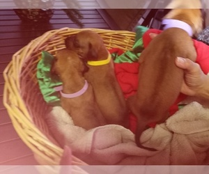 Rhodesian Ridgeback Puppy for Sale in FORT MYERS, Florida USA
