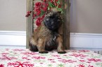 Bouvier Des Flandres Puppy For Sale in LEWISBURG, PA, USA