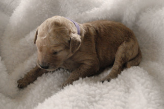 Goldendoodle Puppy For Sale in NORTH BEND, OR, USA