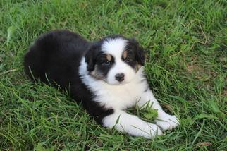Australian Shepherd Puppy For Sale in DONOVAN, IL, USA