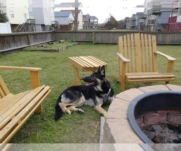 Medium Photo #1 German Shepherd Dog Puppy For Sale in KENBRIDGE, VA, USA