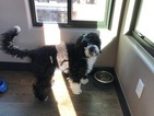 Portuguese Water Dog Puppy For Sale in ARVADA, CO, USA