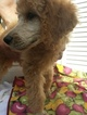Poodle (Standard) Puppy For Sale in COVINGTON, GA