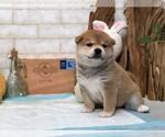 Small Photo #5 Shiba Inu Puppy For Sale in LOS ANGELES, CA, USA