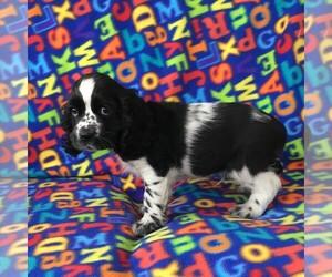 Cocker Spaniel Puppy for sale in HUTCHINSON, KS, USA