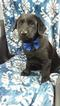 Labrador Retriever Puppy For Sale in EDEN, PA, USA