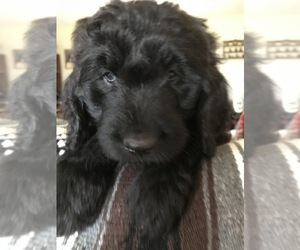 Goldendoodle Puppy for Sale in SARANAC, Michigan USA