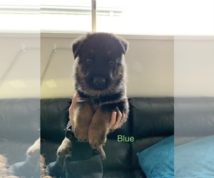 German Shepherd Dog Puppy for sale in Wallan, Victoria, Australia