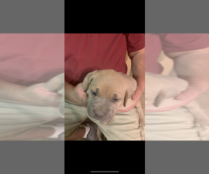 Cane Corso Puppy for Sale in ALBUQUERQUE, New Mexico USA