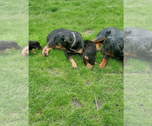 Rottweiler Puppy for sale in DELPHI, IN, USA
