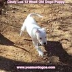 Small Photo #164 Dogo Argentino Puppy For Sale in PINEVILLE, MO, USA
