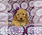 Small #4 Goldendoodle-Poodle (Miniature) Mix