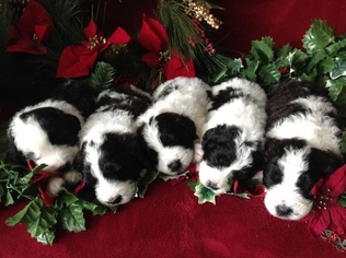 Poodle (Miniature)-Saint Bernard Mix Puppy For Sale in EAST LIVERPOOL, OH, USA