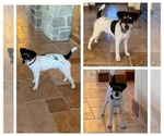 Small Photo #1 Parson Russell Terrier Puppy For Sale in BRADY, NE, USA